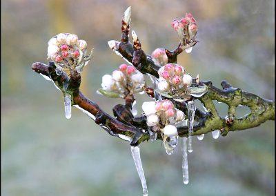 frozen_blossom_by_betuwefotograaf-d1pp283
